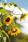 Selective Focus Photography of Sunflower Royalty Free Stock Image
