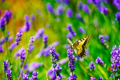 Selective Focus Photography of Tiger Swallowtail Butterfly Perched on Lavender Flower stock photos