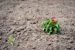 Selective focus photography. Treated soil with a lonely plant. Selective focus photography. Treated soil with a lonely plant royalty free stock photo