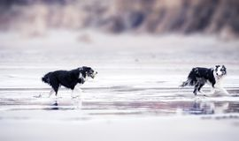 Selective Focus Photography of Two Black-and-white Border Collies Runs in Body of Water stock image