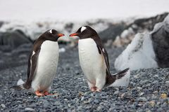 Selective Focus Photography of Two Penguins stock image