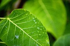 Selective Focus Photography of Water Drop on Green Leaf Stock Photography
