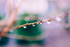 Selective Focus Photography of Water Droplets in Branch Royalty Free Stock Images