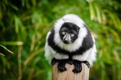 Selective Focus Photography of White and Black Lemur Stock Image