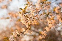 Selective Focus Photography of White Cherry Blossom Flowers Royalty Free Stock Images