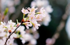 Selective Focus Photography of White Cherry Blossoms royalty free stock photos