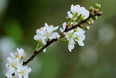 Selective Focus Photography of White Cherry Blossoms Royalty Free Stock Image
