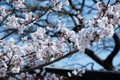 Selective Focus Photography of White Flowering Tree Stock Image