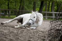 Selective Focus Photography of White Horse Laying on Ground royalty free stock photos