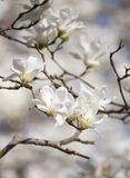 Selective Focus Photography of White Magnolia Flowers Stock Images