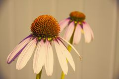 Selective Focus Photography of White-and-purple Petaled Flower Royalty Free Stock Photography