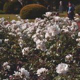 Selective Focus Photography of White Roses Stock Images