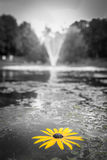 Selective Focus Photography of Yellow Black Eyed Susan Flower on Water Stock Photos