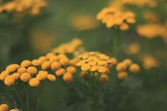 Selective-focus Photography of Yellow Flowers Royalty Free Stock Image