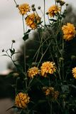 Selective-focus Photography of Yellow Petaled Flowers Stock Photo