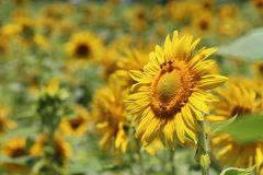 Selective Focus Photography of Yellow Sunflower royalty free stock image