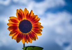 Selective Focus Photography of Yellow Sunflower in Bloom stock photos