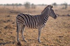 Selective Focus Photography of Zebra Royalty Free Stock Photo