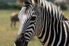 Selective Focus Photography of Zebra Royalty Free Stock Images