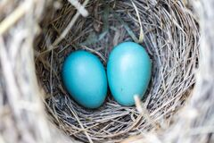 Selective Focus Photography2 Blue Egg on Nest Royalty Free Stock Photography