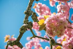 Selective focus of pink flowers on branches of cherry blossom tree against blue. Cloudless sky royalty free stock image