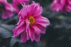 Selective Focus of Pink Petaled Flower Stock Image