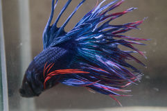Selective focus at points Blue fin and tail of siamese fighting fish Stock Photos