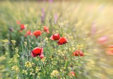 Selective focus on poppy flower, red poppy flower in meadow, beautiful lanscape royalty free stock photo