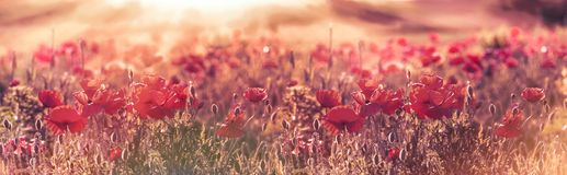 Selective focus on poppy flowers - Wild red poppy flowers. In meadow lit by sun rays in late afternoon Royalty Free Stock Photos