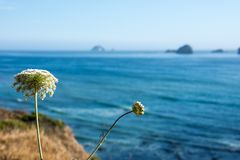Selective focus on a pretty white wildflower along the Oregon coast stock images