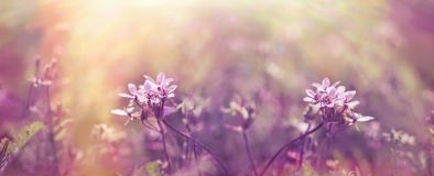 Selective focus on purple flower in meadow. Beautiful nature in spring Stock Image
