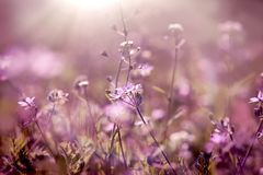 Selective focus on purple flower in meadow - spring flower. Selective focus on purple flower in meadow - beautiful spring flower lit by sunlight Stock Photography