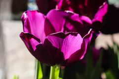 Selective focus purple tulip from side with blurred background. Selective focus-A purple tulip from side with a blurred background Royalty Free Stock Photos