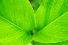 selective focus raindrop on green tropical leave Royalty Free Stock Images