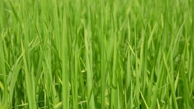 Selective focus of refreshing green paddy field, fresh rice tree leaves, under bright afternoon sunlight of a summer time in the. North of Thailand stock footage