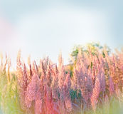 Selective focus on seed of grass Royalty Free Stock Images