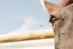 Selective focus shot of a bee near a horse eye