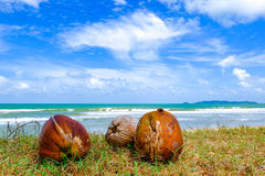 Coconut on green grass at the shore under cloudy and blue sky background. Selective focus shot,coconut on green grass at the shore under cloudy and blue sky Stock Image