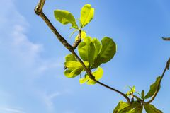 Selective focus shot of green leaves with backlight on blue sky. Background Royalty Free Stock Photos