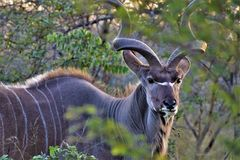 Selective focus shot of a kudu looking towards the camera near trees with a blurred background