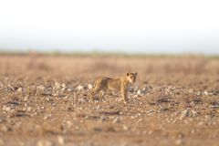 Selective focus shot of a lion standing in an empty field