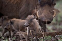 Free Selective Focus Shot Of A Baby Warthog Stock Photo - 171974010