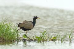 Free Selective Focus Shot Of A Bronze-winged Jacana Bird Walking In The Chilika Lake In Odisha, India Royalty Free Stock Images - 171569219