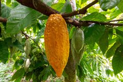 Selective focus shot of Theobroma cacao growing on a tree getting ready to become chocolate