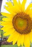 Selective focus on single sunflower with ladybug on it Royalty Free Stock Images