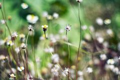 Selective focus at small white grass flower plants with blurred background, Closeup stock images