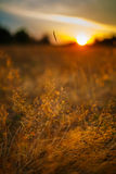 Selective focus sunset. Sunset landscape in a meadow with sun in the frame and selective focus Royalty Free Stock Image