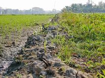 Thailand`s paddy fields with transplanted seedlings and man-made walking path stock photo