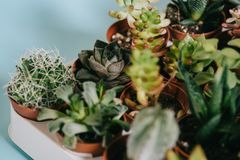 Selective focus of various beautiful green succulents in pots. On grey Royalty Free Stock Image