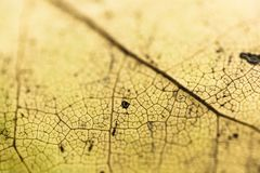 Selective focus on venation of yellow leaf macro close up, abstract creative background Stock Photography
